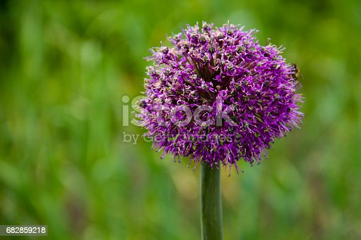 Sand leek (Allium scorodoprasum) or rocambole and Korean pickled-peel garlic is a Eurasian species of wild onion