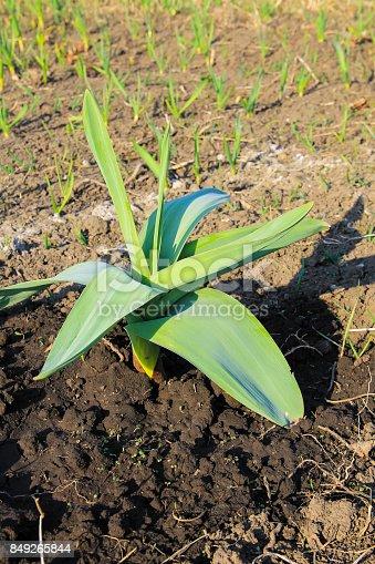 Sand leek (Allium scorodoprasum) or rocambole and Korean pickled-peel garlic is a Eurasian species of wild onion