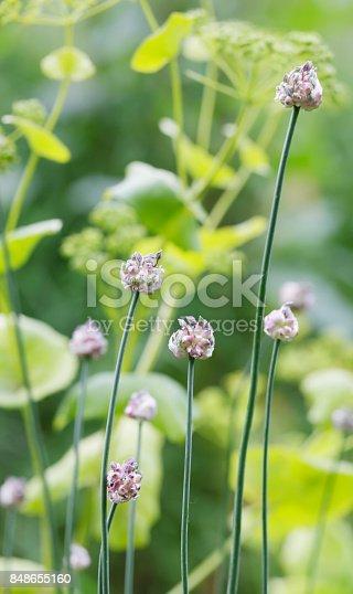Sand Leek (Allium scorodoprasum)