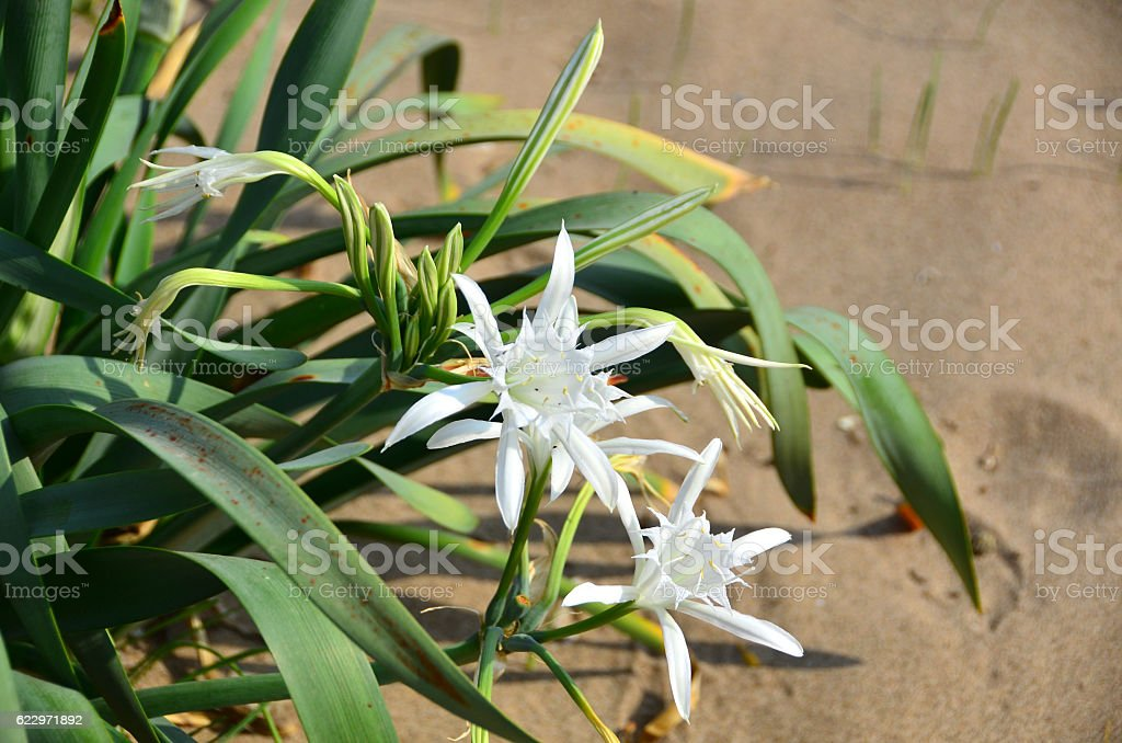 Sand Lily stock photo