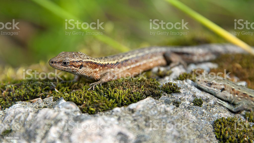 Sand Lizard royalty-free stock photo