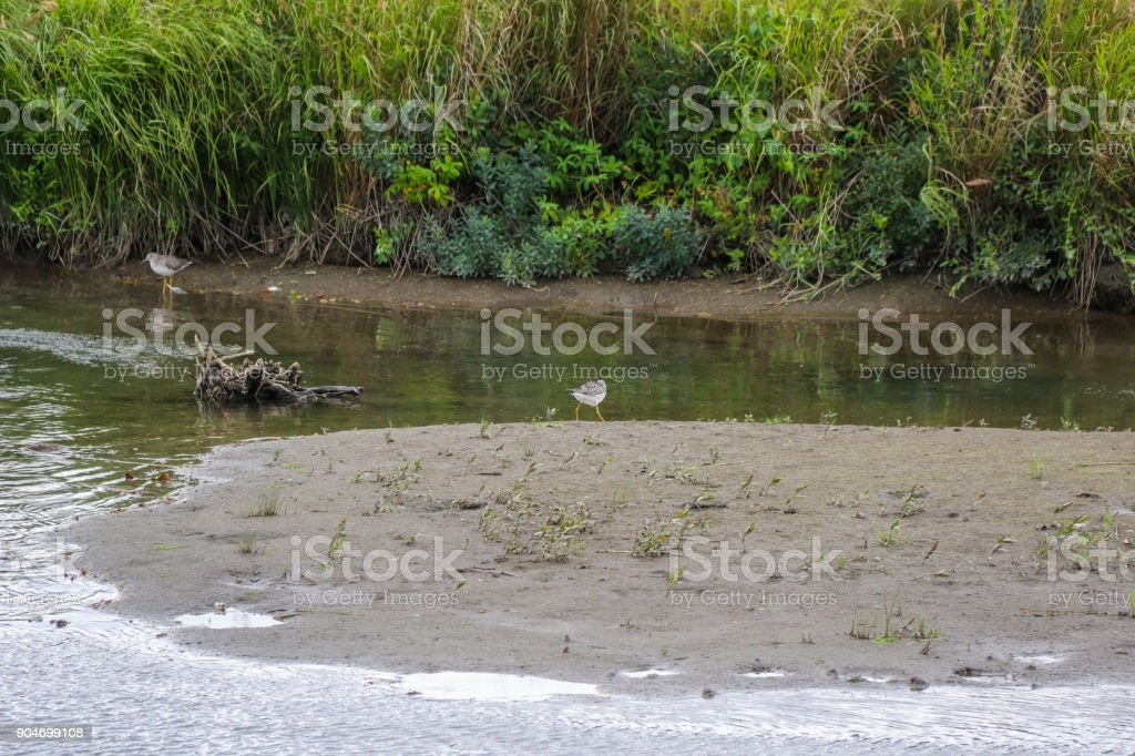 sand piper stock photo