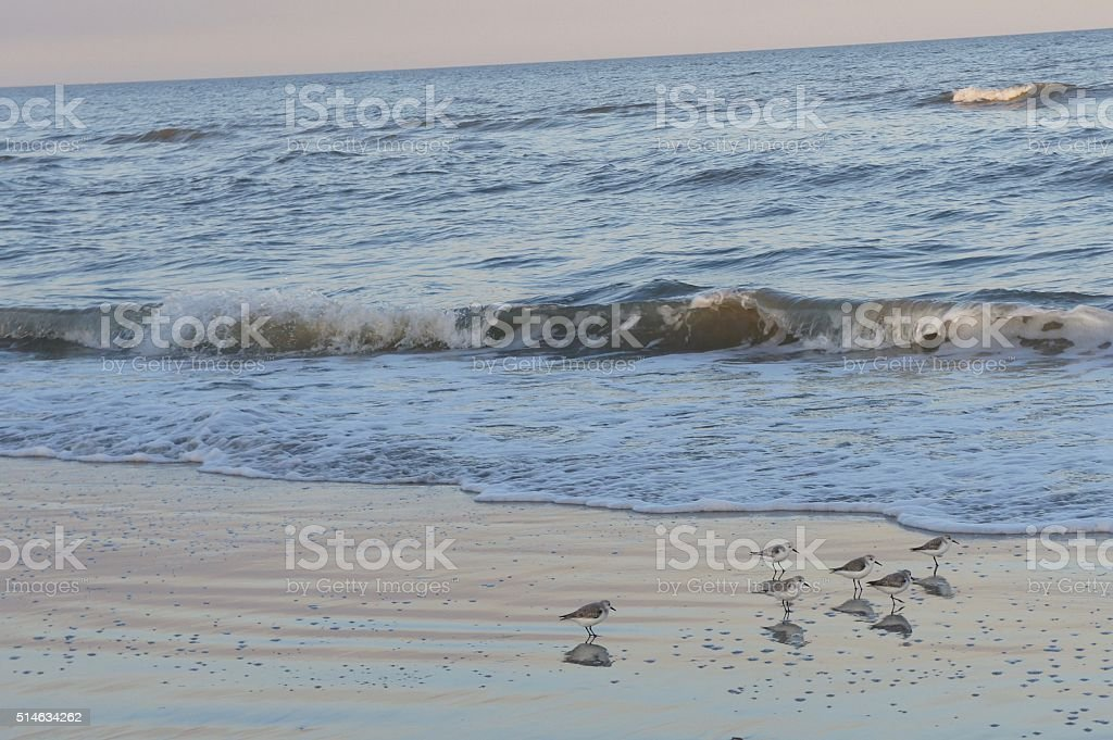 Sand Pipers in the Surf at Sunset stock photo