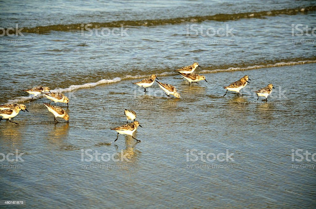 sand pipers stock photo