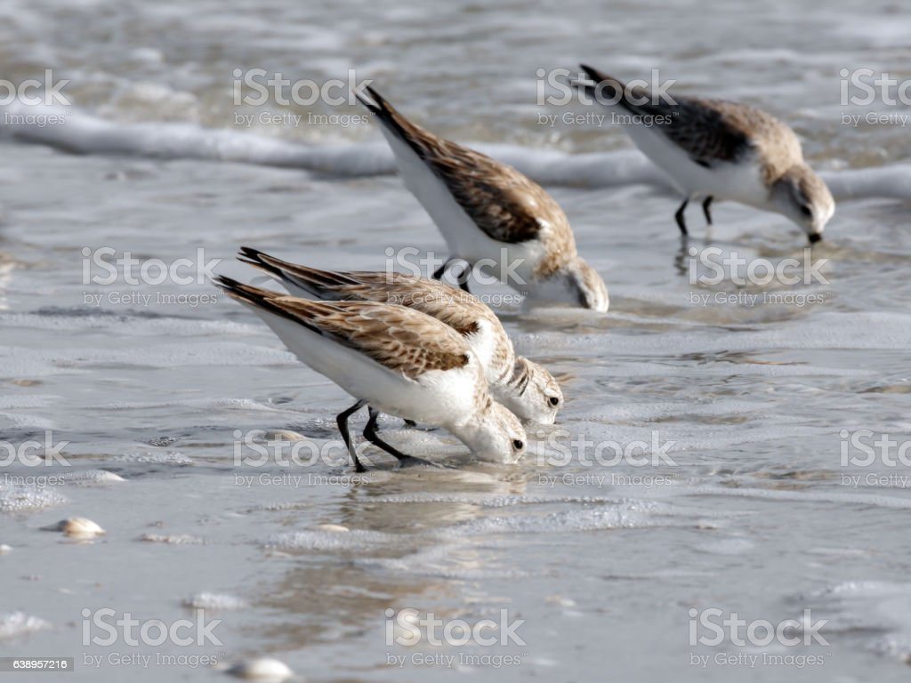 Sand plovers (Charadrius mongolus) looking for food, wading in water stock photo