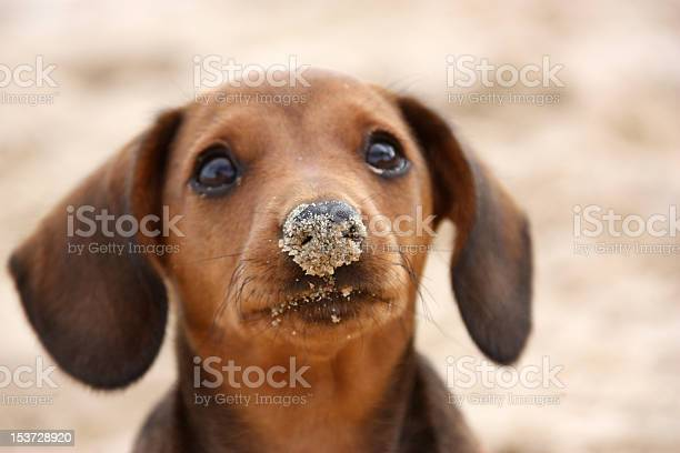 Sand sticking to the nose of a brown dog with floppy ears picture id153728920?b=1&k=6&m=153728920&s=612x612&h=mtss1o3stwib51rcg3zbg7ql9opwga 7zju6hlpktz8=