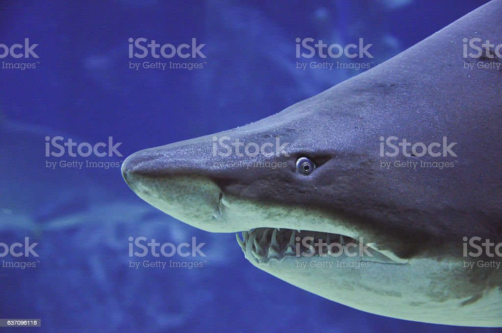 sand tiger shark (Carcharias taurus) close up portrait stock photo