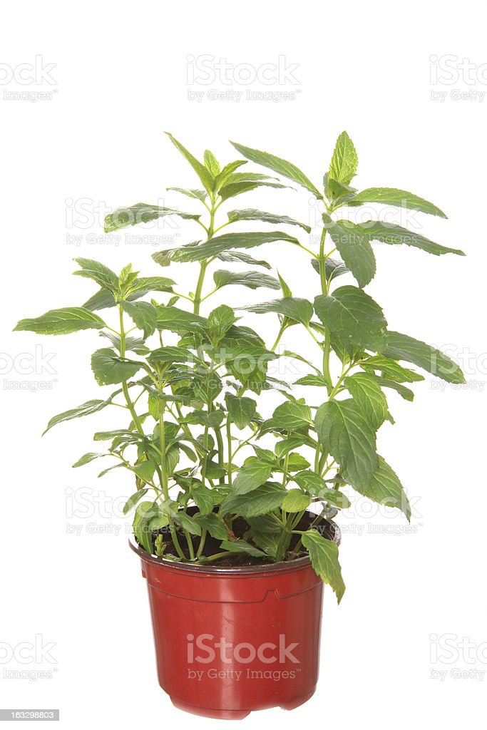 sandal plant in the pot royalty-free stock photo