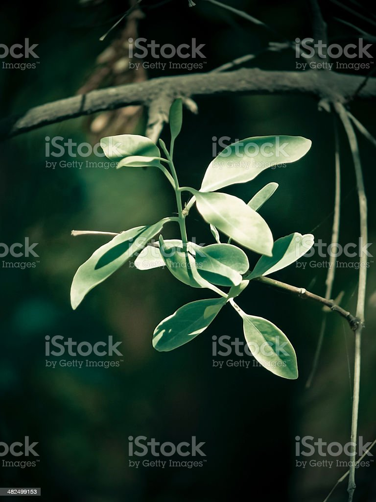 Sandalwood, Authority L., Sirium myrtifolium Roxb, Santalum album stock photo