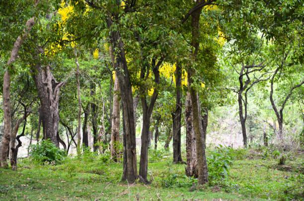 Sandelholz Wald – Foto