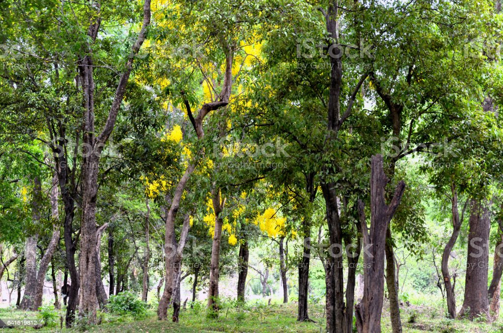Sandalwood forest stock photo