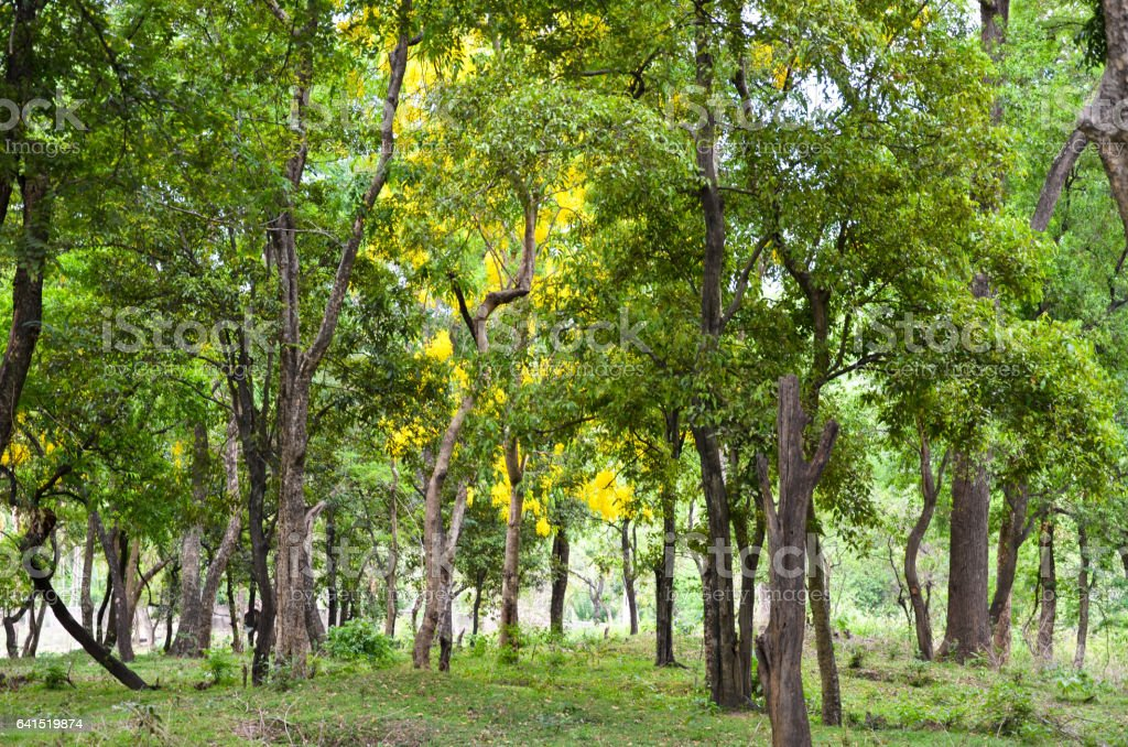Sandalwood Forest Stock Photo - Download Image Now - iStock