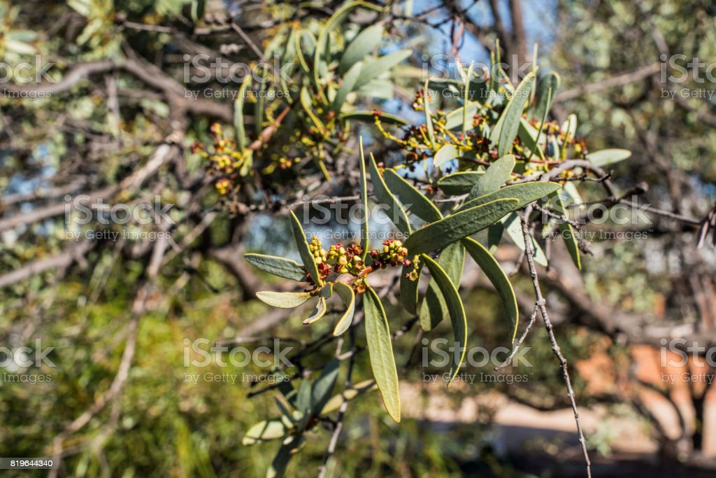 Sandalwood tree royalty-free stock photo