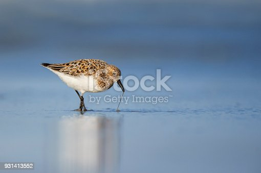 A Sanderling in breeding plumage tugs at a worm to pull it from the wet sand on a beach in the afternoon sun.