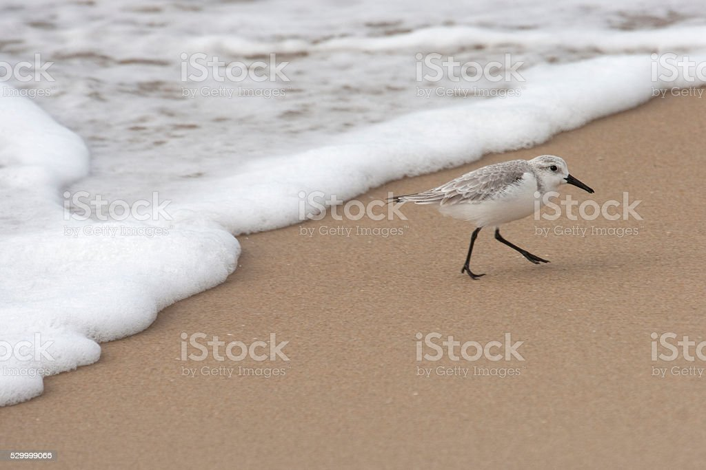 Sanderling bird feeds on Southern California sandy beach waves stock photo