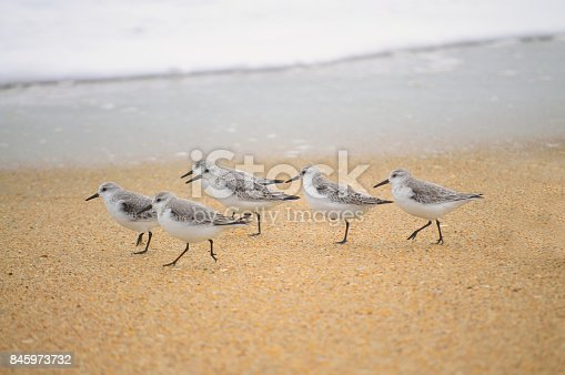 A small group of Sanderling, Calidris alba, stroll down along the shoreline of Pea Island at the Oregon Inlet of the Outer Banks of North Carolina in winter