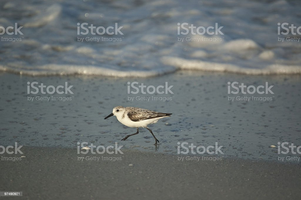 Sanderling Running on a Florida Beach in the Morning royalty-free stock photo