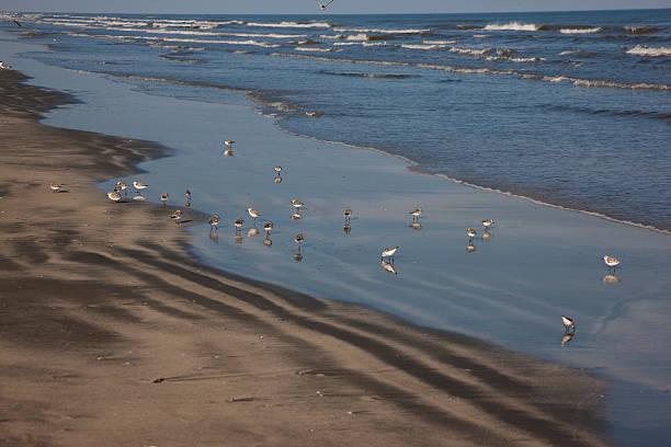 Sanderlings on Galveston beach stock photo