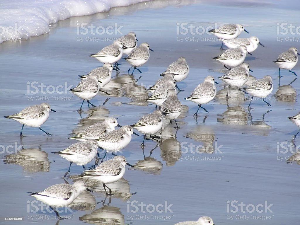 Sanderlings stock photo