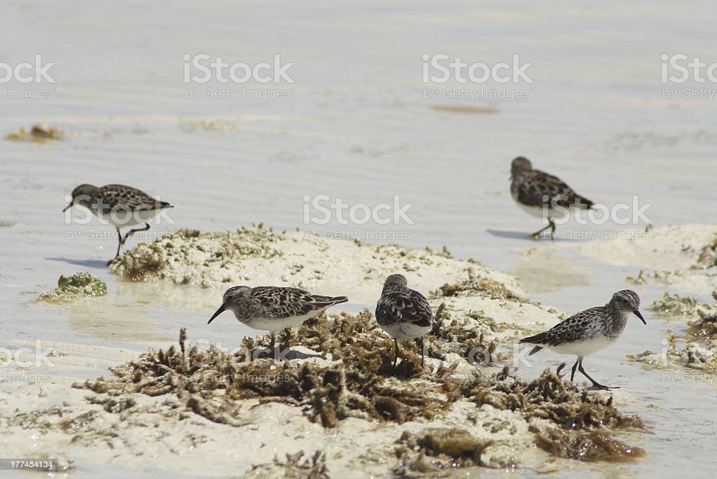Sanderlings Wading royalty-free stock photo