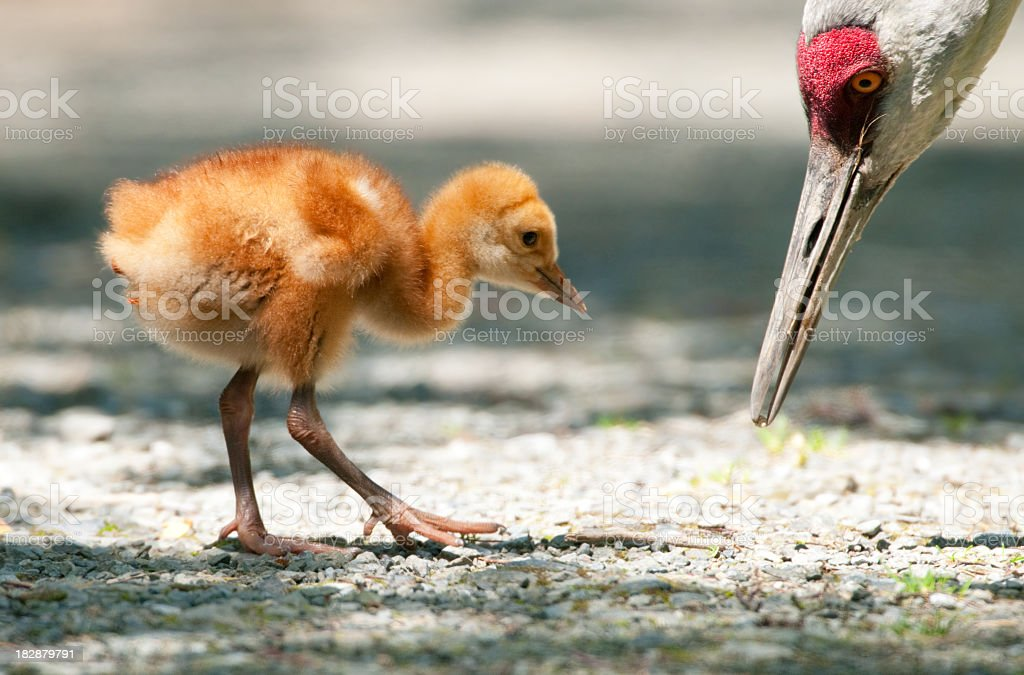 Sandhill Crane Baby Chick 7 Days Young Royalty Free Stock Photo