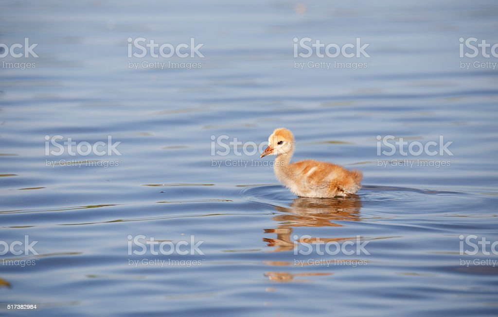 sandhill crane baby chick stock photo
