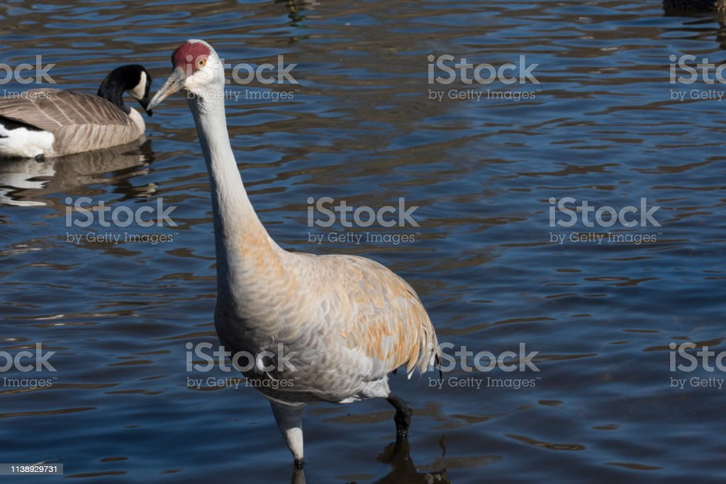 Sandhill crane at a lake.