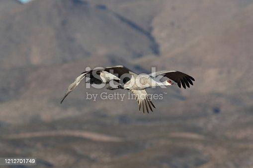 Sandhill Crane Bosque del Apache Wildlife Reserve New Mexico in Winter , USA