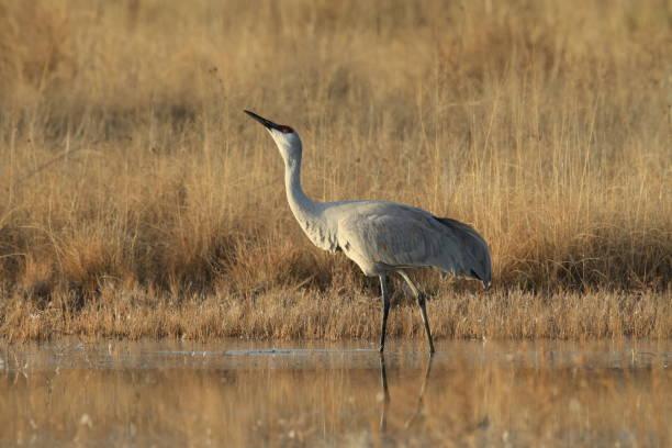 Sandhill Crane Bosque del Apache Wildlife Reserve New Mexico USA stock photo