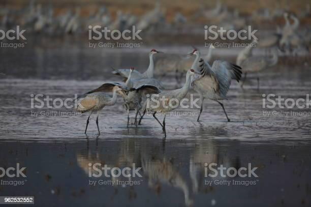Foto de Sandhill Crane Apache De Del Bosque Wildlife Reserve Novo México Eua e mais fotos de stock de Abundância