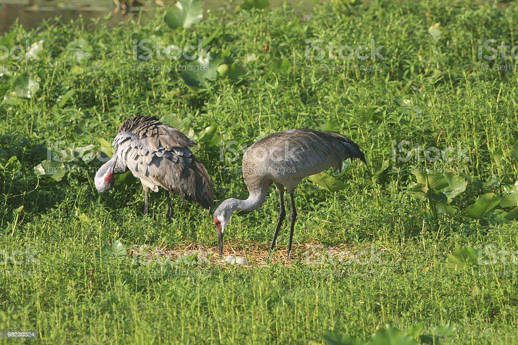 Sandhill Crane Couple Nesting royalty-free stock photo