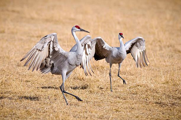 Sandhill Crane (Grus Canadensis) Dancing at the Edge Field stock photo