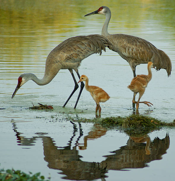Sandhill Crane Family stock photo