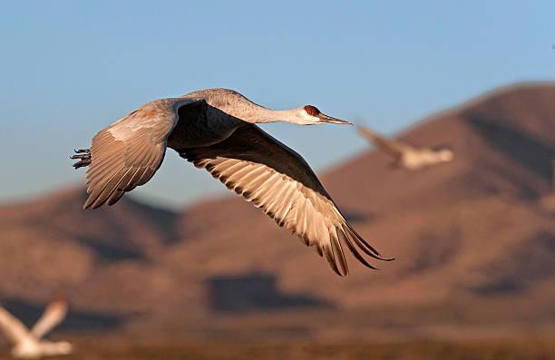 Sandhill Crane Flying At Sunrise stock photo