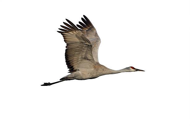 Sandhill crane, Grus canadensis stock photo