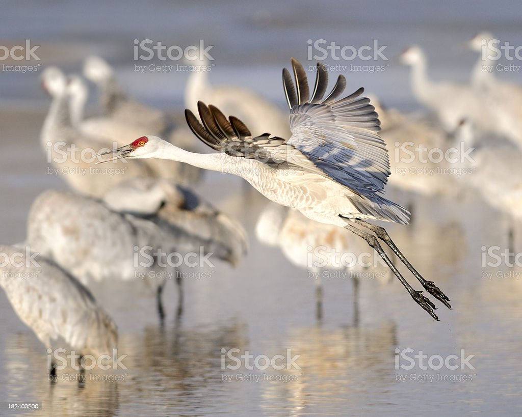 Sandhill Crane (Grus canadensis) in Flight above the Wetlands royalty-free stock photo