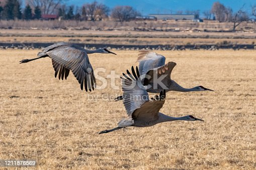 Sandhill cranes migrating, returning to the northern parts of the USA