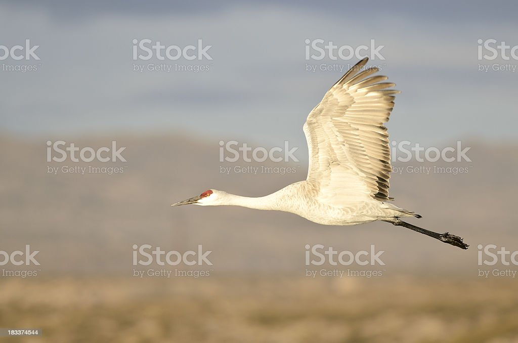 Sandhill Crane (Grus Canadensis) in Flight royalty-free stock photo