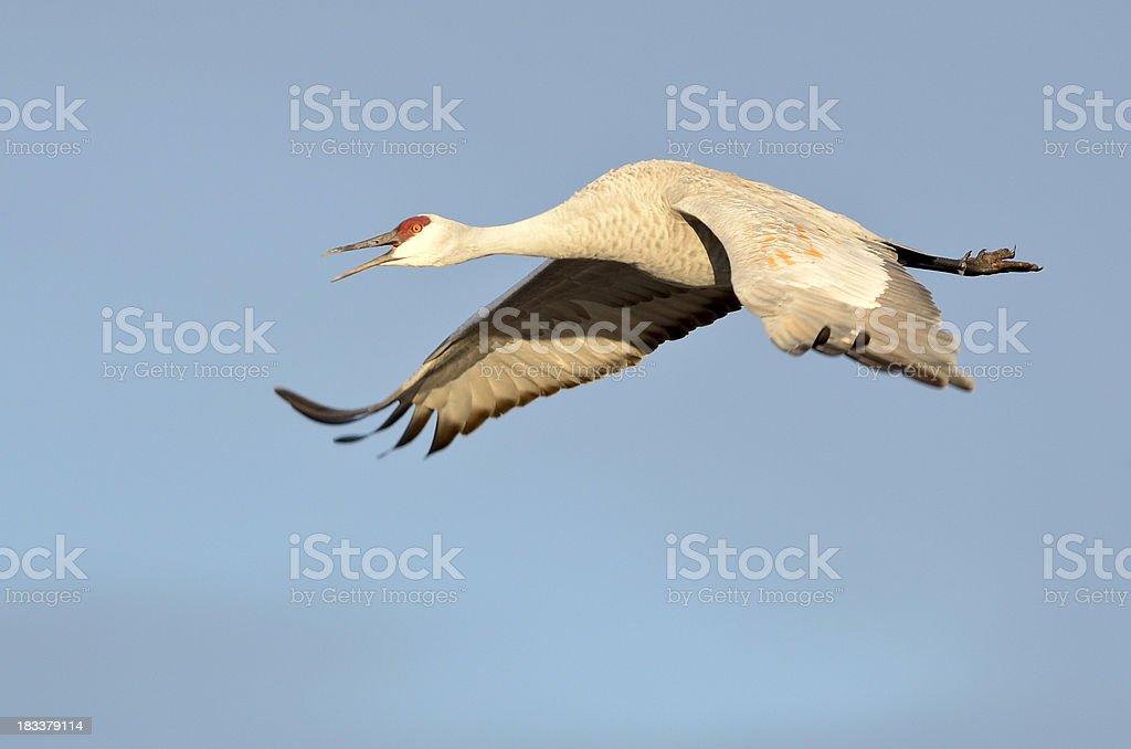 Sandhill Crane (Grus Canadensis) in Flight royalty-free stock photo