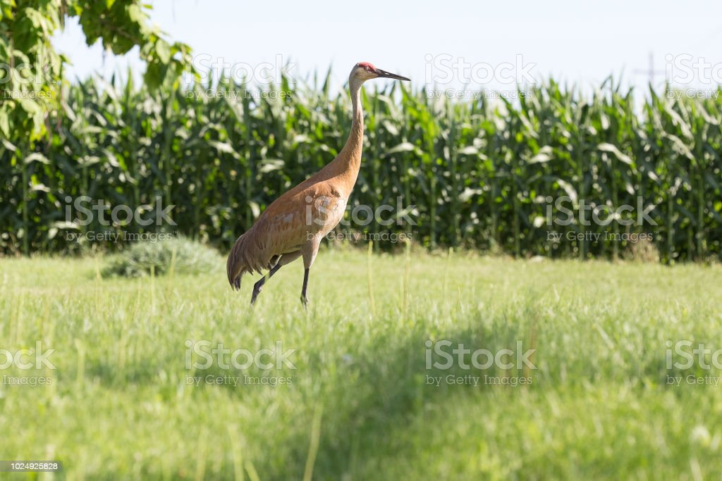 sandhill crane in rural Wisconsin stock photo