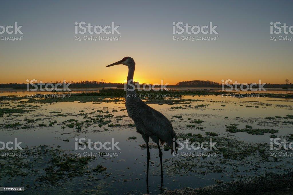 Sandhill Crane in the Orlando Wetlands Park in Central Florida stock photo