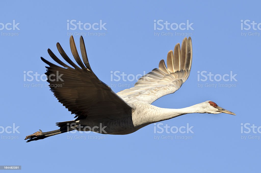 Sandhill Crane (Grus Canadensis) Isolated on a Blue Sky stock photo