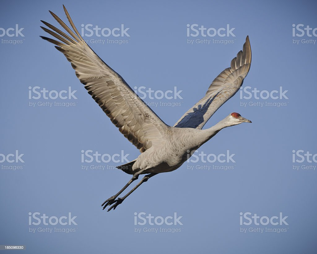 Sandhill Crane (Grus Canadensis) Isolated on a Blue Sky royalty-free stock photo