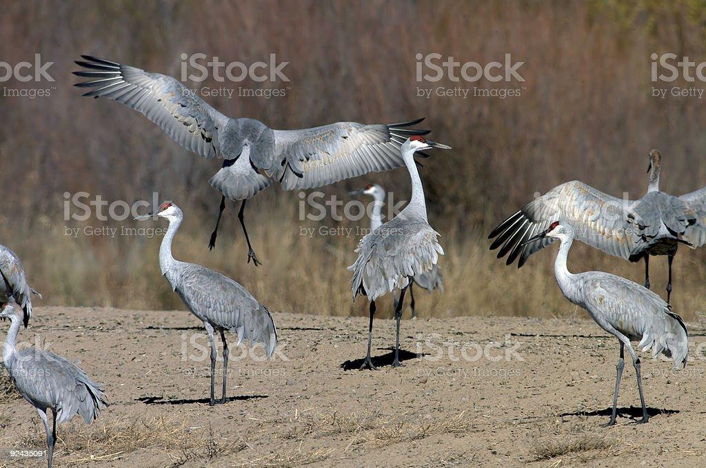 Sandhill crane lands royalty-free stock photo