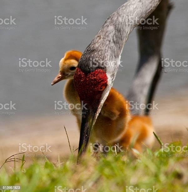 Sandhill crane mother and babies picture id513957823?b=1&k=6&m=513957823&s=612x612&h=shnlq6ohgbzmv3ec9ym nqgdayj0nk x2fvuni0trn8=
