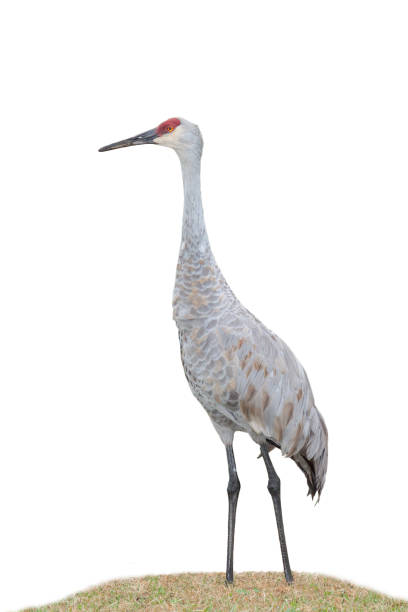 Sandhill Crane on a White Background stock photo