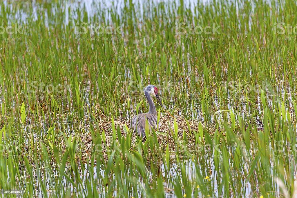 Sandhill Crane on nest stock photo