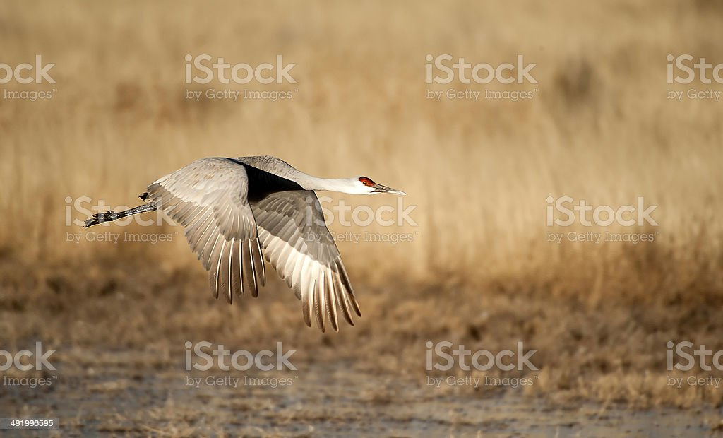 Sandhill Crane Over Field stock photo