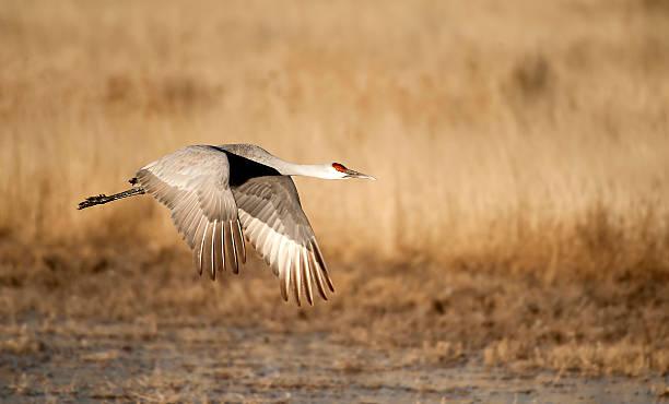 Sandhill Crane Over Field stock photo