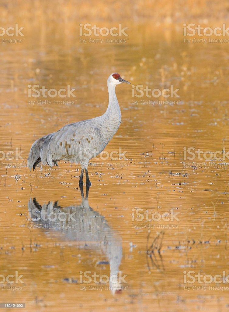 Sandhill Crane royalty-free stock photo